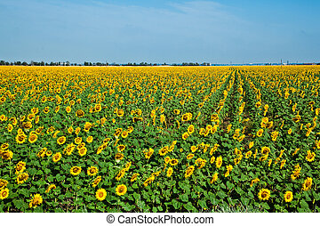 A field of sunflowers on blue sky