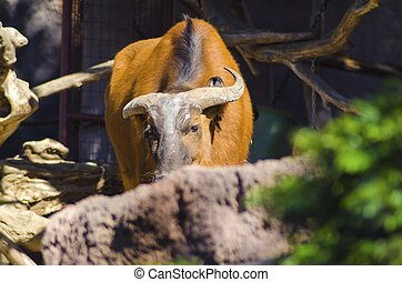 African Forest Buffalo - An African Forest Buffalo hiding...