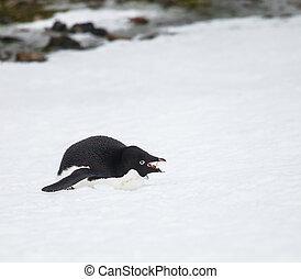 adelie penguin eatting snow in antarctica