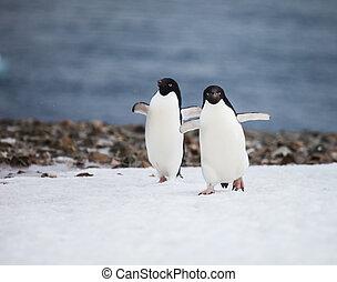 adelie penguin - funny adelie penguin in antarctica