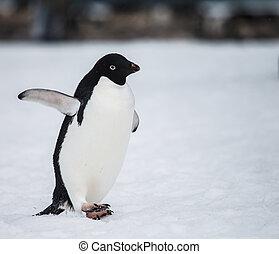 adelie penguin in wildlife antarctica