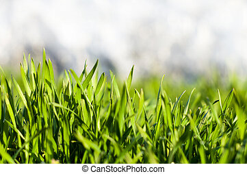 Green grass with dew drops 2 - Fresh juicy green grass with...