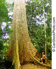 Tourist standing near giant tree, Taman Negara National...