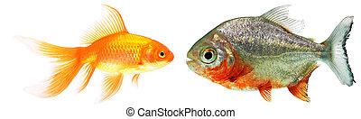oro, pez, piraña