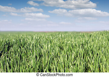 green wheat with dew drops and blue sky landscape