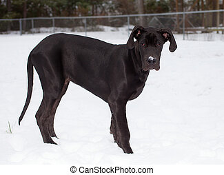 Digging in the snow - Young black great Dane that has snow...