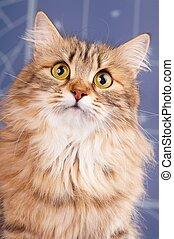 Siberian cat - Portrait of a beautiful siberian cat with big...