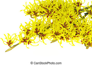 Hamamelis isolated 19