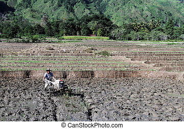Worker on the rice field - Man with tractor on the rice...