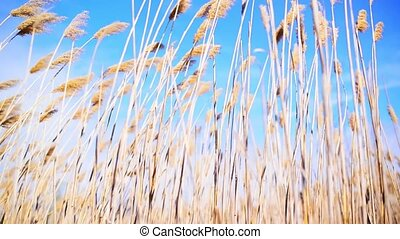 Wind blowing in the cane reed on a sunny spring day