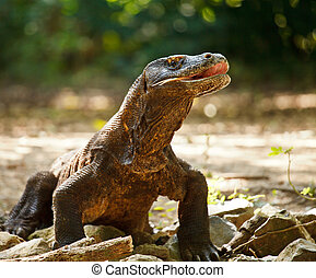 Komodo Dragon at Komodo National Park a World Heritage Site...