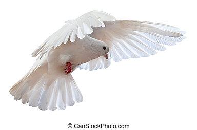 Um, livre, voando, branca, Pomba, isolado
