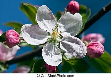 Apple-tree flower on blue sky