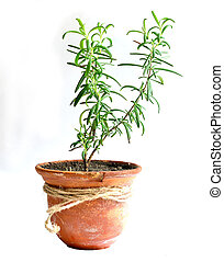 Home flower in a pot rosemary