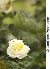 Single White Rose in the Garden Blooming