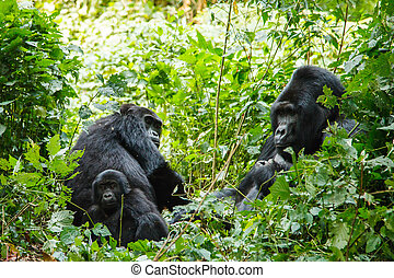silverback gorilla family in wild on Uganda