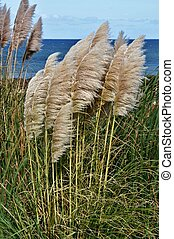 Pampas Grass - Landscape with Pampas Grass on the coast