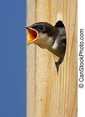 Baby Bird In a Bird House - Hungry Baby Tree Swallow...