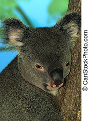 Koala Bear Portrait - a nice close up of a very cute koala...