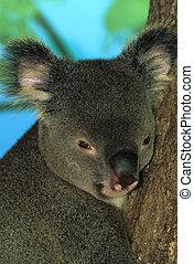 Koala Bear Portrait - a nice close up of a very cute koala...
