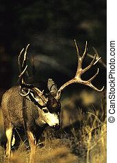 Ruting Mule Deer Buck - a big mule deer buck searching for...