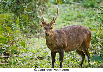 Hog deer endengered mammal India