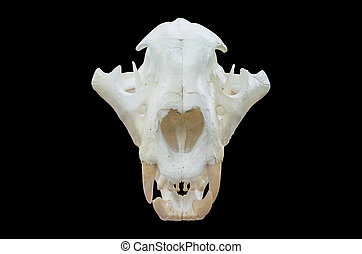 Tiger skull Isolated on black background, with clipping path...