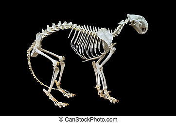 Tiger skeleton. Isolated on black background, with clipping...