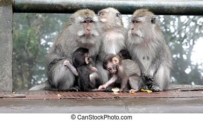 Family of monkeys sits on the rock