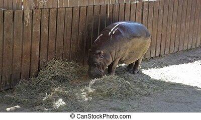 The hippopotamus is semi-aquatic (Hippopotamus amphibius) -...