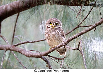 Spotted  Owlet - Prachuap Khiri Khan Wanakon Beach Post.
