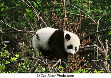 Giant baby Panda - in a tree