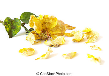 Dead yellow rose isolated on white background