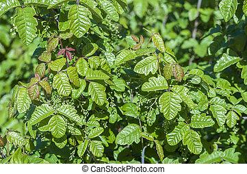Poison oak - Beautiful green poison oak Toxicodendron...