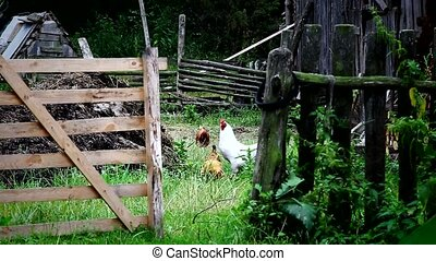 Domestic fowl walk on country backyard