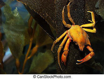 Crab - Brown and yellow crab on kelp under water