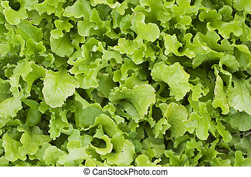 Loose leaf lettuce - A bed of loose leaf lettuce
