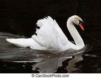 beautiful swan on black background - beautiful swan on the...