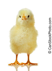chicken against white background - Cute little baby chicken...