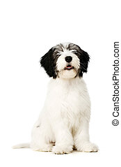 Polish Lowland Sheepdog isolated on a white background -...