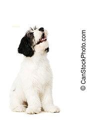 Polish Lowland Sheepdog isolated on a white background -...