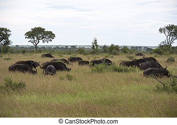 group buffalo - group buffela in national kruger park south...