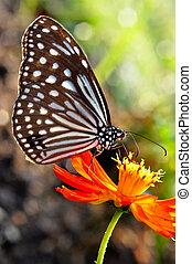 Paper Kite Butterfly Butterfly on a orange flower