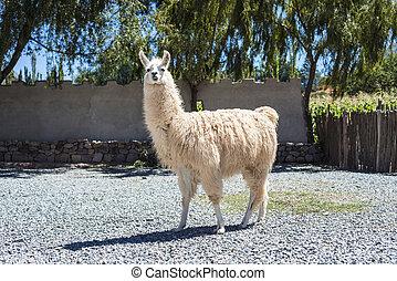 Llama in Purmamarca, Jujuy, Argentina. - Llama in...