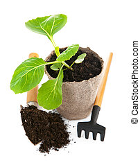 Seedlings cabbage in pot with garden tools