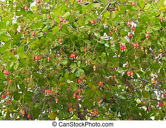 Cashew nuts growing on a tree This extraordinary nut grows...