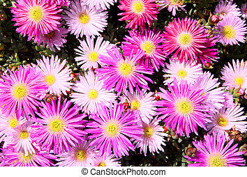 Pink, lilac and white mesembryanthemums ice plant flowers