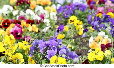 colorful pansy flower garden nature background