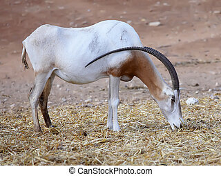 Scimitar Horned Oryx in zoo