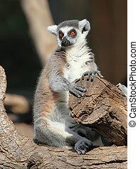 Ringtailed lemur Lemur catta